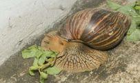 世界上最大的蜗牛——长20cm的非洲大蜗牛,牙齿2.5万颗