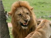 """南非偷猎者成""""盘中餐"""" 被大象踩死狮子吞食剩头骨"""