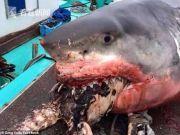 大白鲨吃海龟被活活噎死 海龟半个身子还在外面