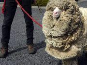 绵羊为躲避剪毛,独自进入密林逃亡6年,最后发现它时都看傻了!