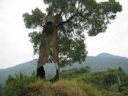生命的奇迹:全球最强大的10棵树