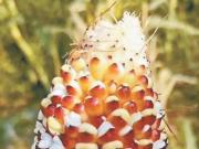 """多地高温刷新纪录,玉米被晒成""""爆米花""""!北方地区局地超40℃"""