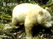 四川卧龙首次拍到白色熊猫(图)
