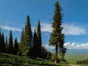 世界上寿命最长的树,能活9500年,是因为这树不断克隆自己