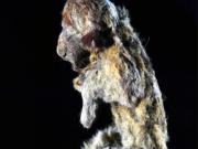 西伯利亚发现30000年前穴狮宝宝遗体(图)