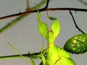 盘点全球最奇怪的十大昆虫,个个奇特!