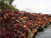 比利时大闸蟹泛滥 当局正在考虑将它们运回中国