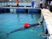 三亚搁浅领航鲸死亡:志愿者曾24小时浸泡在海水中看护