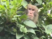 日本一动物园14只猴子拿钥匙开门 集体逃跑