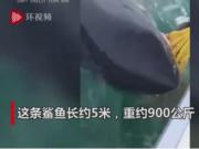 男子钓鱼钓到900公斤大白鲨,长约5米,网友:这是老人与海?