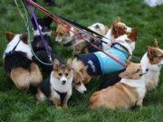 武汉养犬修订草案是怎么回事?将给狗狗植入电子芯片