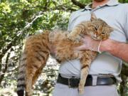 法国猫科新物种?外形看起来像猫和狐狸的混合体