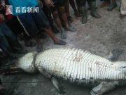 印尼村民捕获巨型鳄鱼 剖腹惊现男子完整残肢?