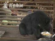 """村民捡来""""小黑狗"""" 喂养两年变""""黑熊""""..."""