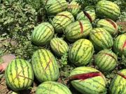 2000个西瓜被砍烂但具体情况与媒体报道有出入