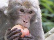 猴子多次打劫游客,有人当场杀了只鸡结果亮了