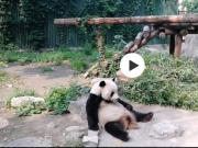 北京动物园有人扔石头砸熊猫 目击者:半小时两次