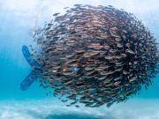 潜水员潜泳时被鱼群团团包围 画面震撼美不胜收