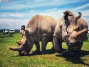 差点灭绝 全球仅存两头北方白犀牛取卵成功(图)