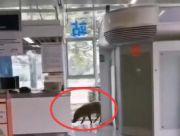 野猪误入南京地铁 南大学生:这猪有点眼熟