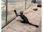 动物园猴子砸玻璃 网友:核桃吃多了比我还聪明