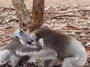 视频:澳大利亚一公考拉求爱被拒 与母考拉大打出手