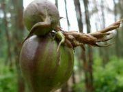 """50年结一次果,一颗果实1000多元,吃它需要""""缘分"""",你见过这果树吗?"""