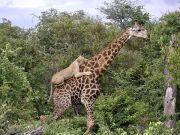 坚持就是胜利!长颈鹿遭狮群攻击4小时终逃离魔爪
