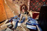 """警犬嗅出5千万走私烟 黑帮悬赏20万取它""""狗头"""""""