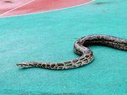 美一女子遭2.4米巨蟒勒颈身亡 屋内竟有140条蛇