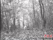 罕见白化小麂再现神农架国家公园(图)
