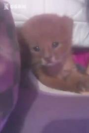 小奶猫是美洲狮,主人后知后觉