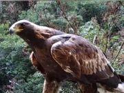 神农架1.2米金雕,翼展2米左右,体重2--6.5千克