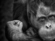 科学家成功破解猩猩语言的秘密:发现11种声音信号和21种身体语言