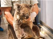 澳大利亚大火致考拉面临生存考验 近8000只丧生