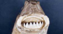 """它被誉为""""海底小暴君"""",身长不足40厘米,却让美军头疼不已"""