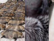 生剥狐狸皮,尸体堆成山,英媒曝亚洲皮草厂惨状,人间地狱