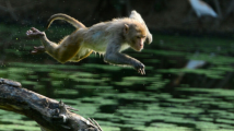 印度猴群偷吃水果推倒院墙 女子与4个孩子被砸死