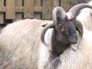 国内惊现四角山羊:成活率百万分之一