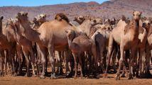 澳大利亚将射杀近万头骆驼 因为它们喝了太多水