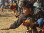 印度男子观看斗鸡比赛 不料被鸡身上刀片刺伤身亡