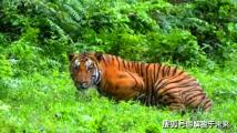 一只吃了436人的老虎,被击毙后发现它为何一直要吃人了