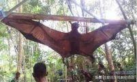 世界最大的蝙蝠—马来大狐蝠 翼展超2米