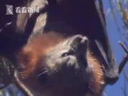 """西媒盘点蝙蝠的五大秘密:堪称""""天然病毒库"""""""
