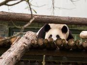 """武汉动物园断粮告急,盒马出手:2000个""""熊孩子""""不用挨饿了"""