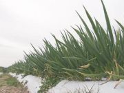 日本1吨多特色大葱在田里接连被盗 损失6万多元