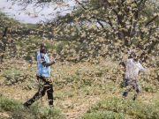 突发!蝗虫蔓延至南苏丹,约旦已宣布国家进入紧急状态
