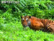 世界上最凶狠的老虎,预估吃掉了436人,被击毙后发现它吃人真相
