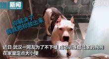 武汉网友教狗在家排便,狗狗疯狂暗示想出门 主人:出去就是15天