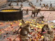 """印度35只猴子""""打群架"""",2名男子因猴群骚动而丧生"""